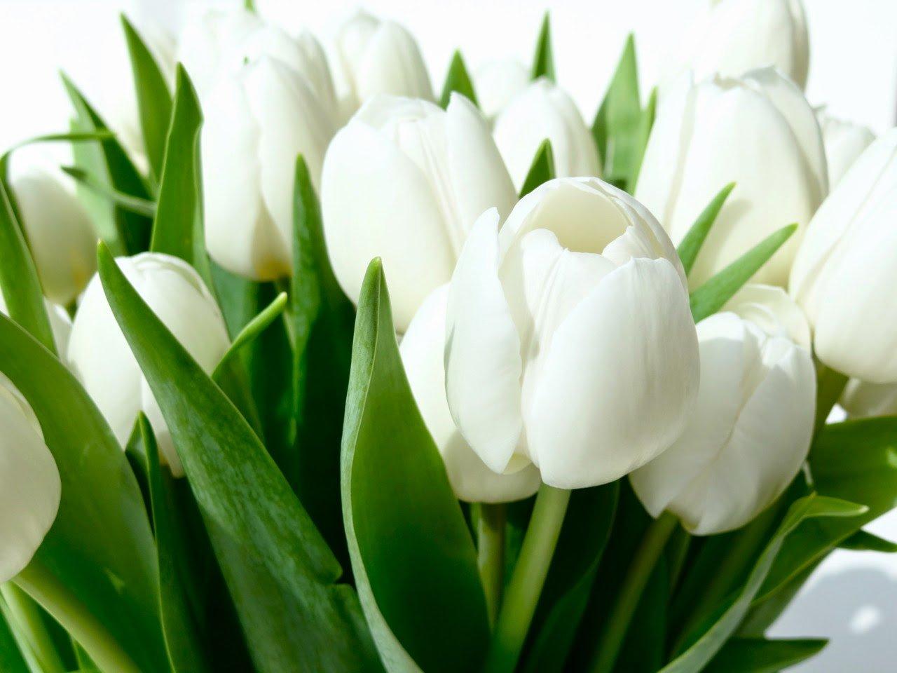 صورة ورد التوليب الابيض , اجمل الصور لزهور التوليب الابيض