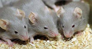 تفسير الاحلام فئران , رؤية حلم الفئران في المنام