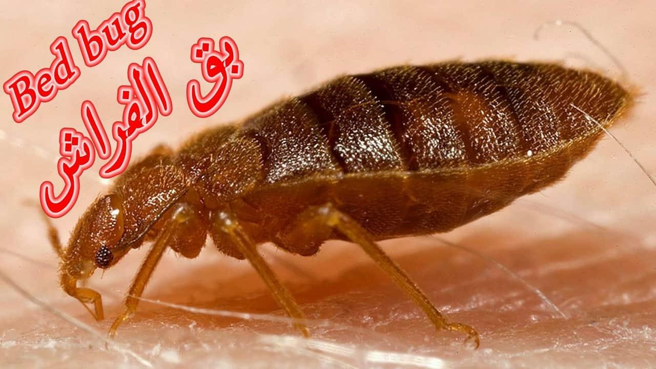 صورة التخلص من حشرة البق , كيفيه القضاء علي حشره البق من المنزل