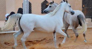 بالصور افضل انواع الخيول , اكثر انواع الخيول جوده واصاله 125 11 310x165