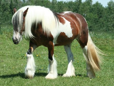 صورة افضل انواع الخيول , اكثر انواع الخيول جوده واصاله 125 8