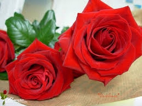 صورة ورد ورد ورد , اجمل صور ومعلومات لعشاق الورود
