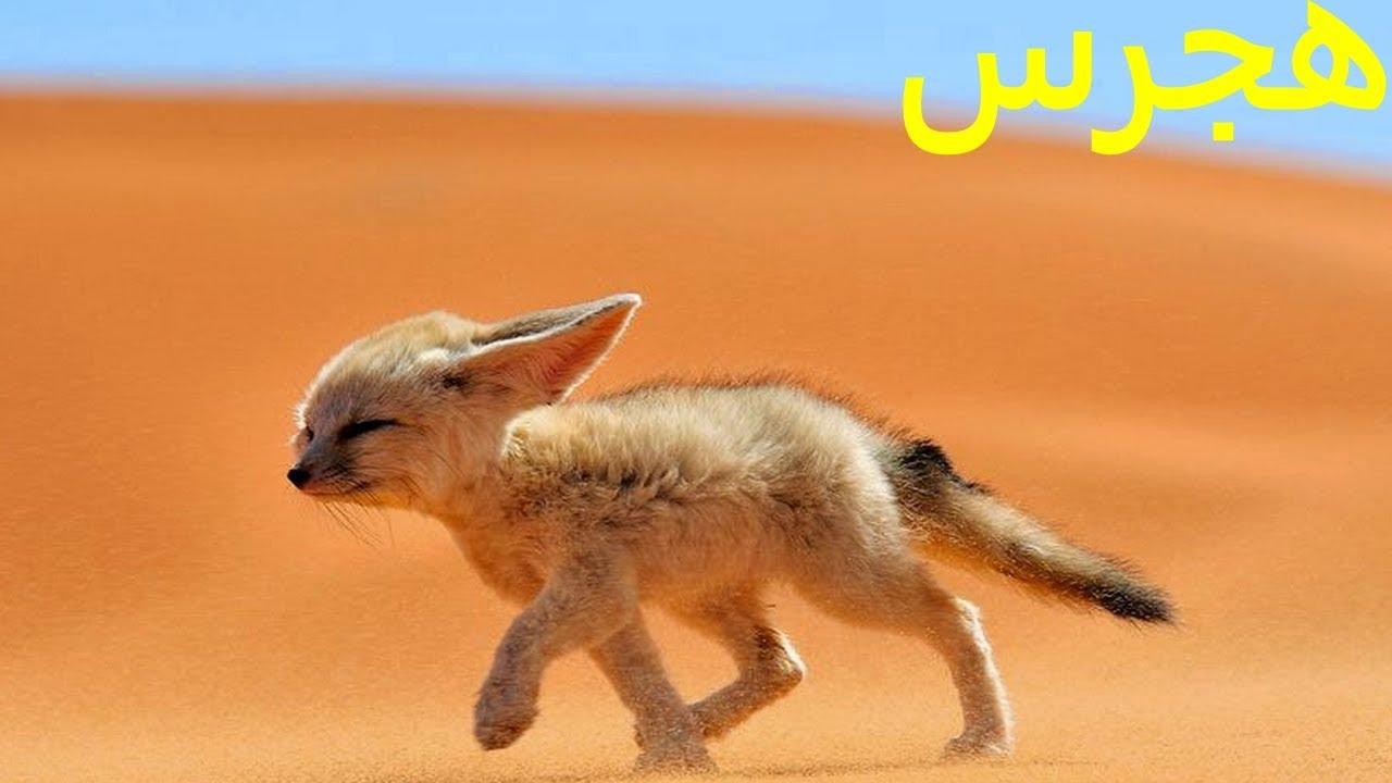 صورة ما اسم ولد الثعلب , الاسم الذي يطلق علي صغير الثعلب