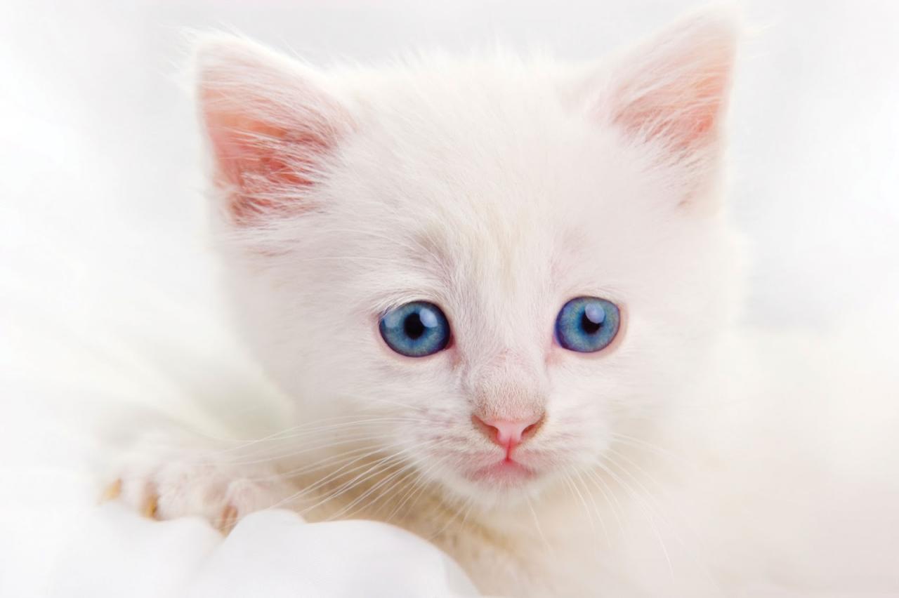 صورة صور قطط بيضاء , حيوانات جميله جدا واليفه