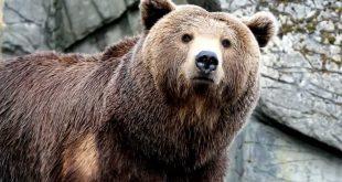 تفسير الدب في المنام , رؤية حيوان الدب في الحلم
