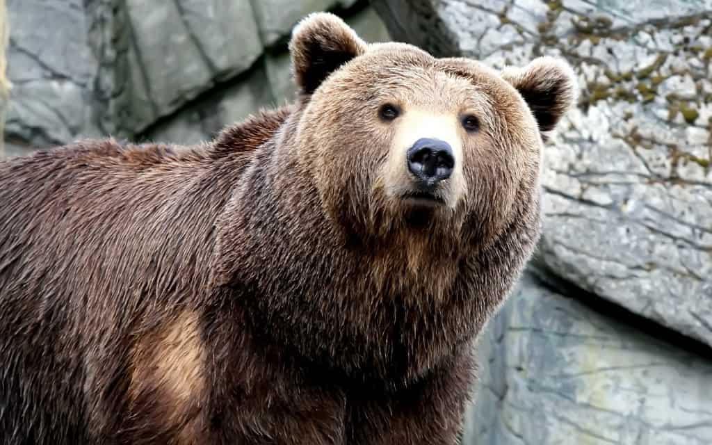 صورة تفسير الدب في المنام , رؤية حيوان الدب في الحلم