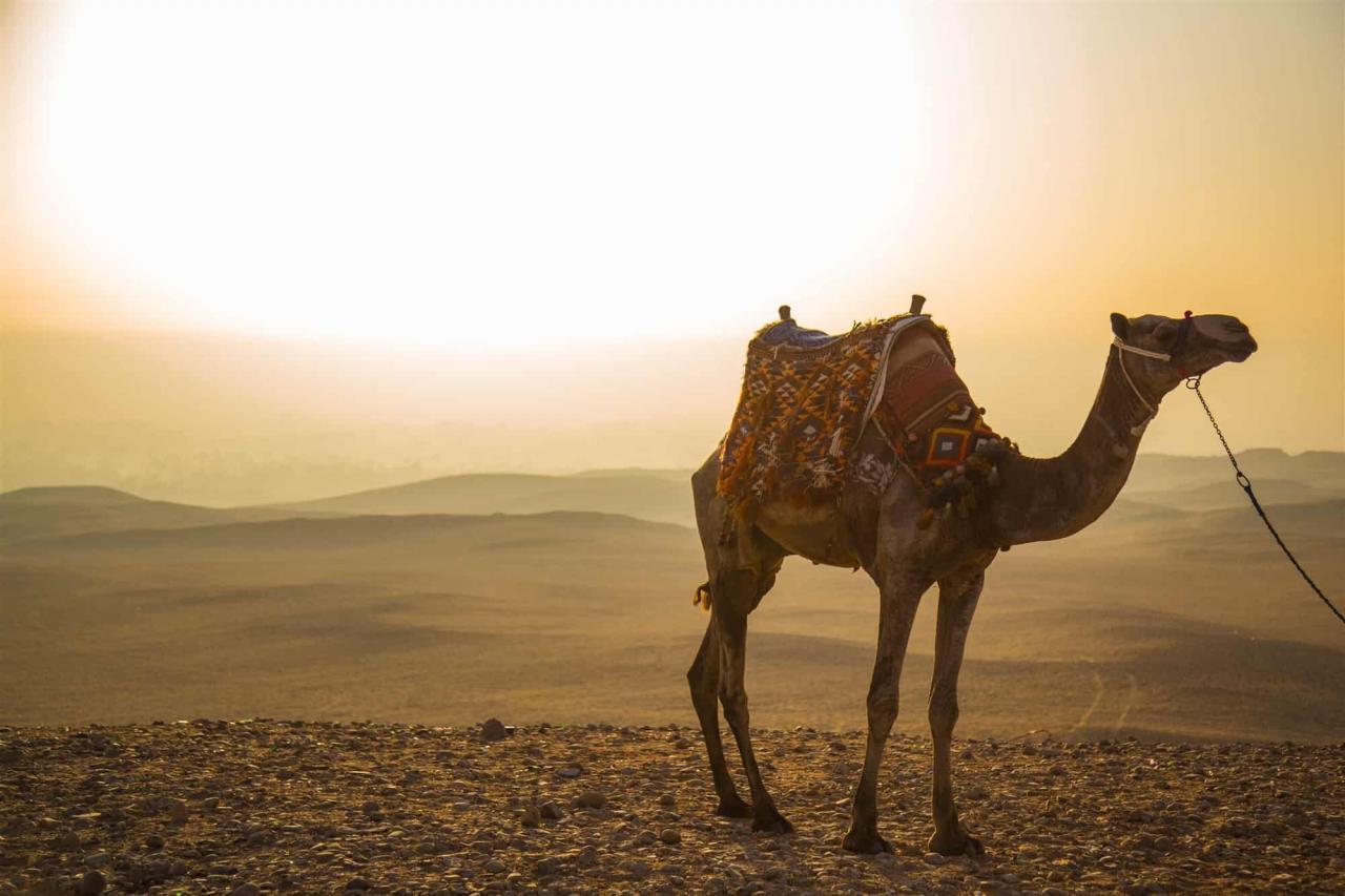 صورة الجمل في المنام للحامل , تفسير رؤيه سفينه الصحراء فى المنام
