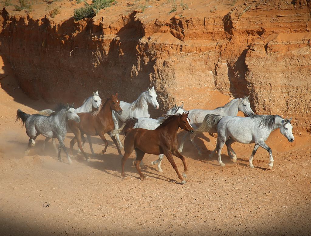 بالصور اسماء الخيول العربية , تعرف على الخيول العربية 2067 1
