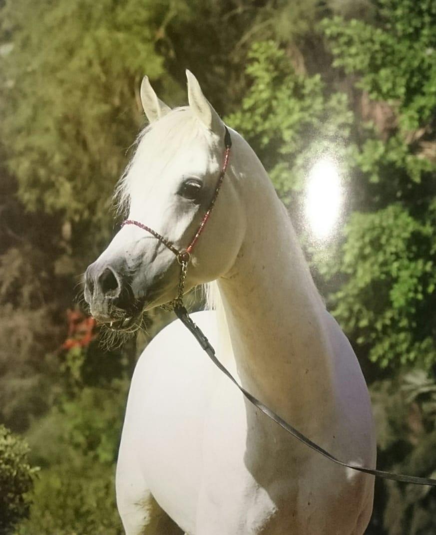 بالصور اسماء الخيول العربية , تعرف على الخيول العربية