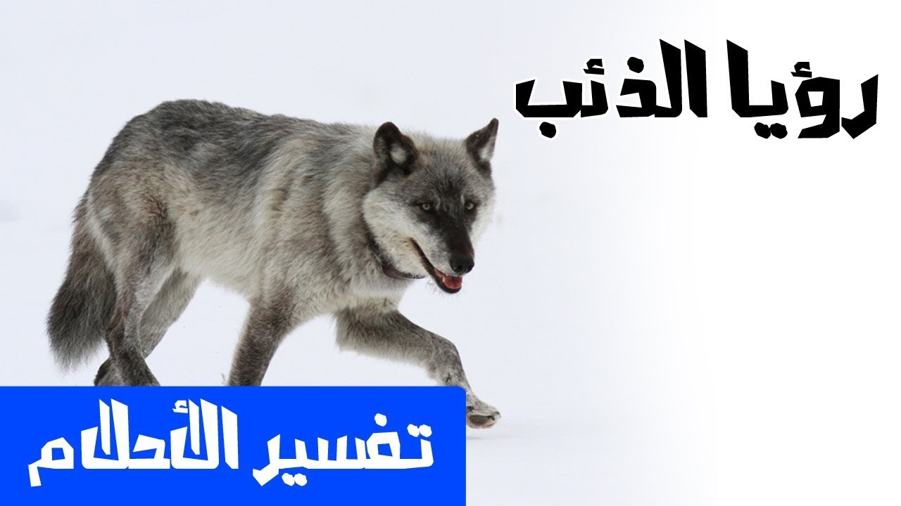 صور ذئب في المنام , الرعب والفزع والحزن من رؤيه الذئب فى المنام