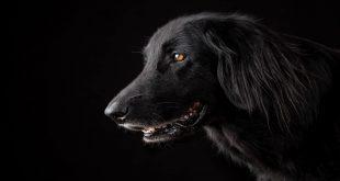 بالصور الكلب الاسود في الحلم , الحيوانات السوداء ورؤيتها فى المنام 2402 3 310x165
