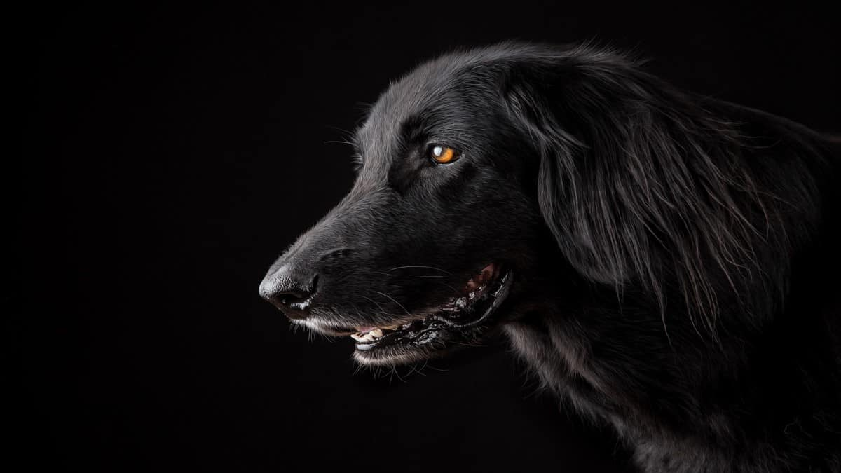 صورة الكلب الاسود في الحلم , الحيوانات السوداء ورؤيتها فى المنام