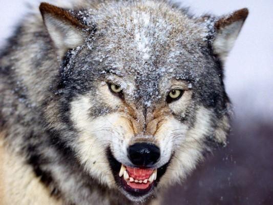 بالصور تفسير حلم عضة الذئب , الذئاب في الاحلام ما هو تفسيرها 2755 1
