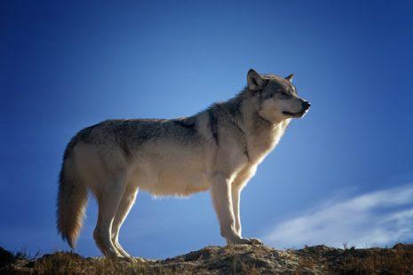 بالصور تفسير حلم عضة الذئب , الذئاب في الاحلام ما هو تفسيرها 2755 2