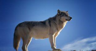 صورة تفسير حلم عضة الذئب , الذئاب في الاحلام ما هو تفسيرها