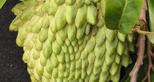 بالصور اصعب اسم فاكهة , هناك اسماء للفواكه لم نسمع عنها من قبل و اسمها صعب 2851 3 310x165