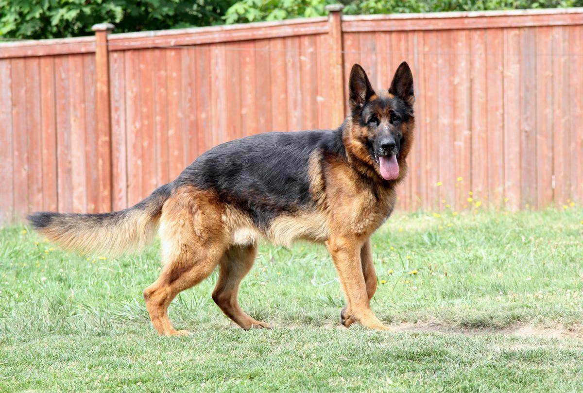 صورة صور كلاب برجي , صور انواع و اشكال الكلاب الخطيره