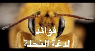 صور فوائد لسع النحل , تعرف علي اهمية قرصة النحل