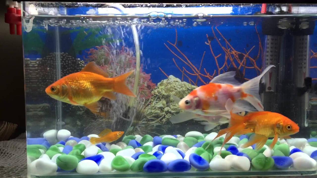 صور انواع اسماك الزينة , تعرف على افضل انواع سمك الزينة