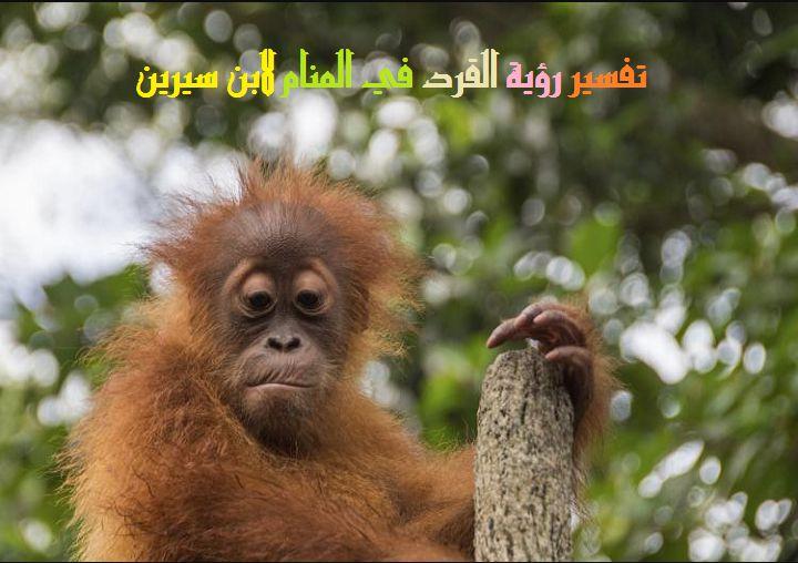 صور القرد في المنام لابن سيرين , حيوان القرد ياتى فى منامى
