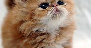 صورة صور قطط شيرازية , قطط كيوت قووي تجنن في صور