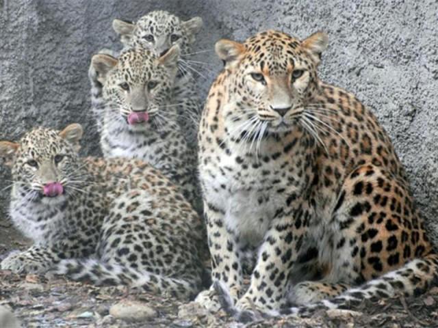 صور صور اسود ونمور , حيوانات شرسه جدا ومخيفه في صور