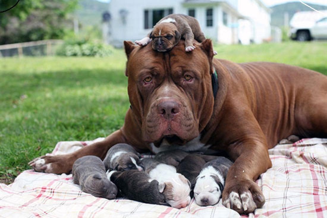 صورة صور كلاب البيتبول , كلاب البيتبول الشرسه بالصور رهيبه