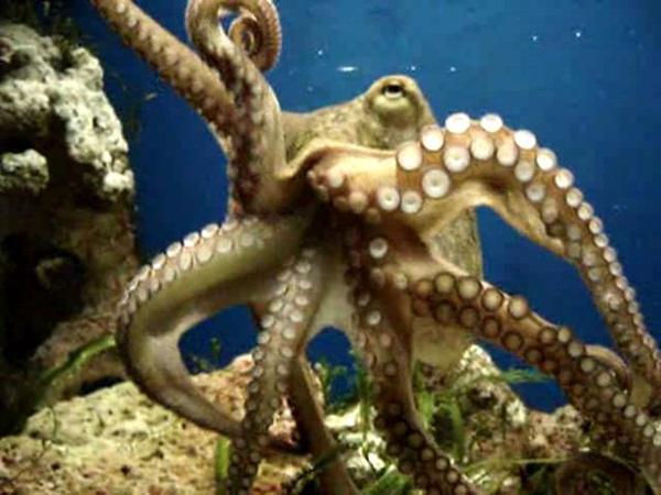 صورة ما هو جمع اخطبوط , كائنات الخطابيط البحرية