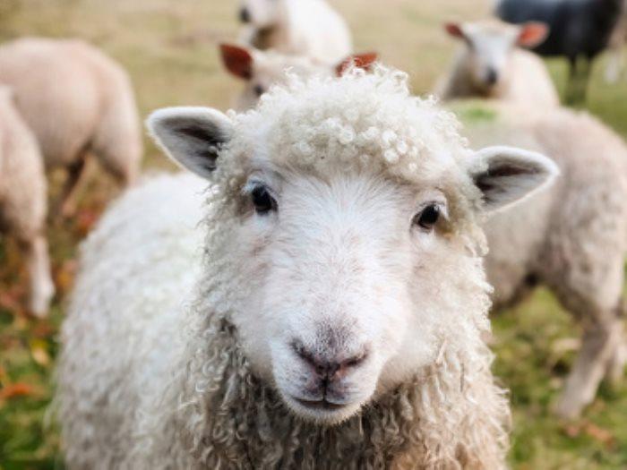 صورة صورة خروف العيد , اجمل فرحه العيد وخروف العيد بالصور جميله جدا