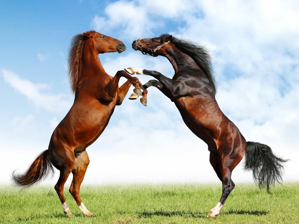 صورة صور الخيل العربي الاصيل , لعشاق الخيول من اروع الصور التي ستراها