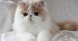 صورة صور قطط الهملايا , قطط الهمالايا الساحره في صور تجنن