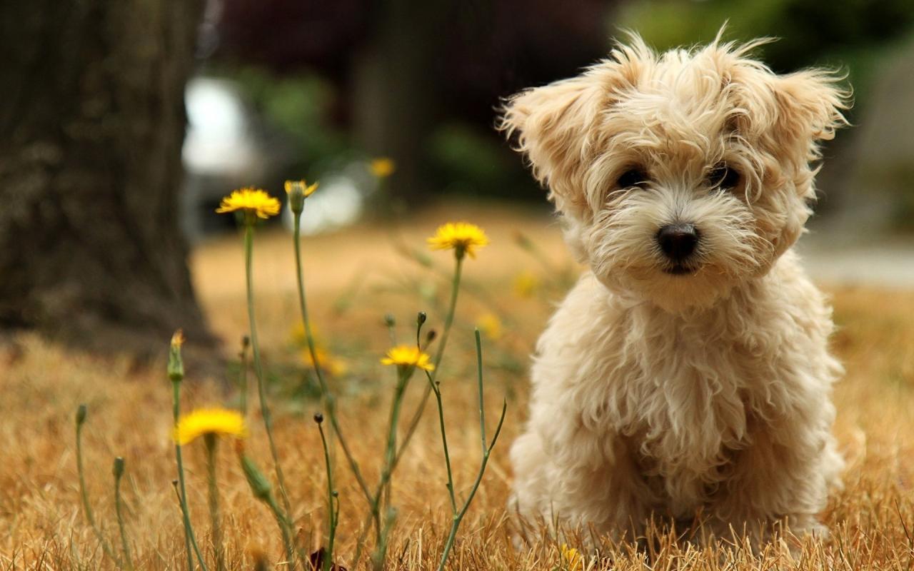 صورة صور الكلب اللولو , واو كلاب لولو جميله قوي
