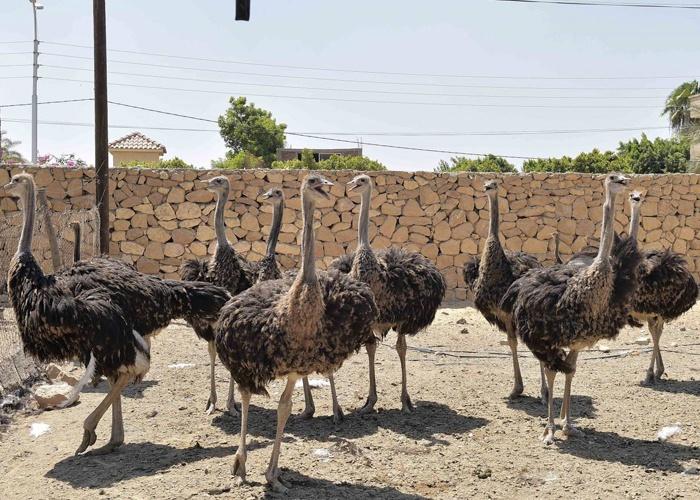 صورة اسم ذكر النعام , اسرع واقوى الطيور