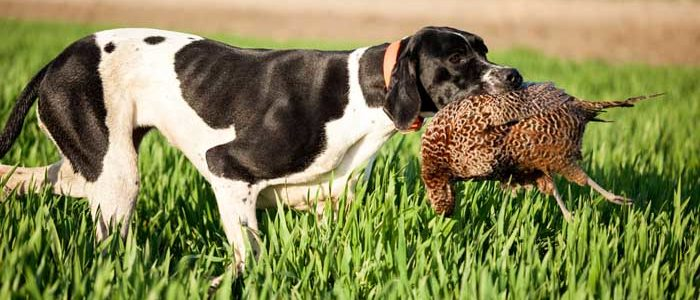 صورة اسماء كلاب الصيد , انواع مختلفة من كلاب الصيد