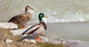 صورة اسم فرخ البط , ماهي انواع البط الموجودة