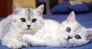 هل تنوي تربي قطة تعرف علي اضرارها , اضرار تربية القطط