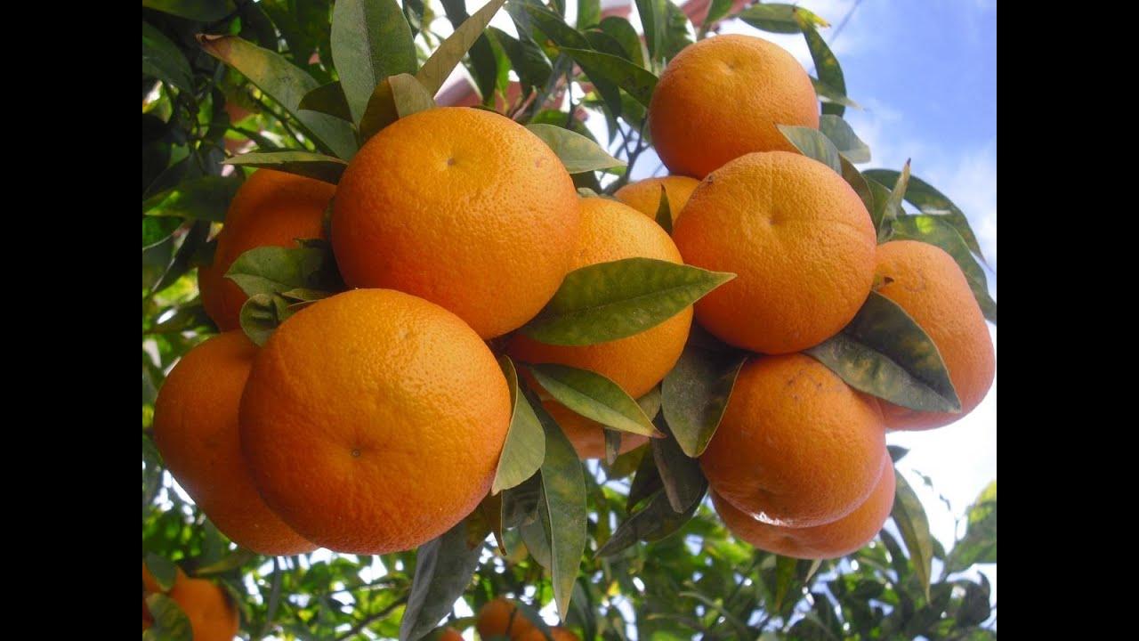 صورة كثرة الخير في حلم البرتقال , تفسير الاحلام برتقال 474 1