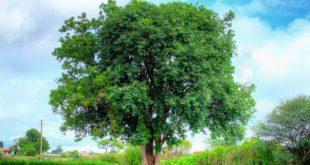 صورة الفوائد العجيبة لشجرة النيم , فوائد شجرة النيم