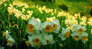 صورة المعاني المختبئة داخل ورقات الورد , انواع الورود البيضاء