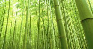 صورة الطاقة الايجابية و نبات البامبو , فوائد شجرة البامبو